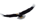 An image of an eagle as typically seen at Brannen Lake RV and Campsites